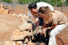 Mallorca-Kaninchen erstmals als bedroht eingestuft