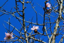 Reiseveranstalter reagieren auf frühe Mandelblüte