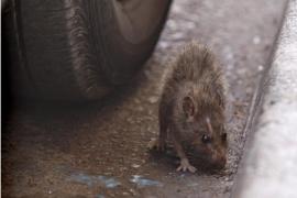 Ratten an Plaça d'Espanya verunsichern Händler