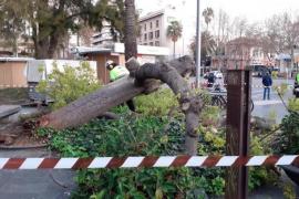 Hoher Baum stürzt auf Palmas Plaça d'Espanya