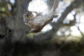 Inselrat verbietet Massen-Beringung von Vögeln