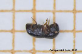 Invasiver Käfer lässt Bäume auf Mallorca austrocknen