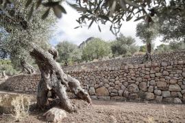 Kennzeichnung für Olivenöl von 1000 Jahre alten Bäumen