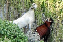 Cala-Llamp-Bewohner bauen E-Zäune gegen Ziegen