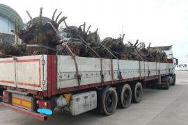 Einfuhr von Olivenbaum-Ladungen gestoppt