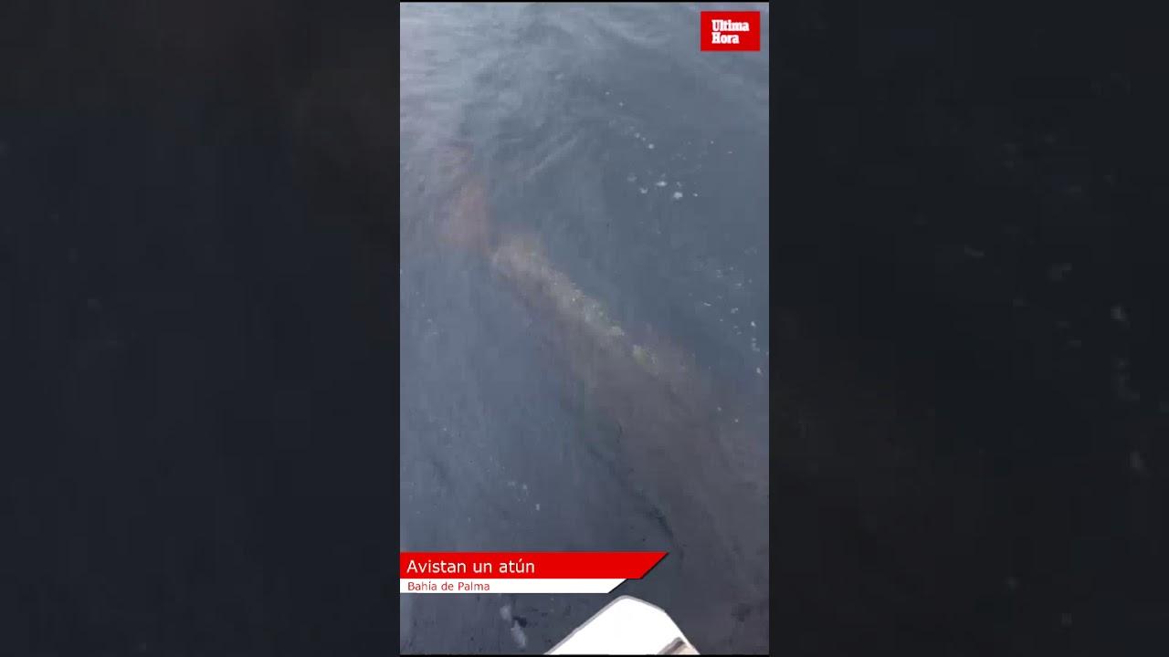 Bootsinsassen filmen riesigen Thunfisch in Palmas Bucht