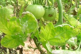 Mottenplage bedroht Tomatenernte