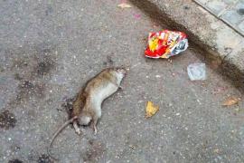 Rattenplage mitten in Binissalem