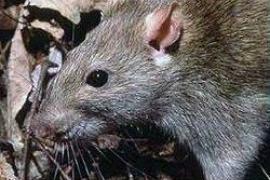 Ratten huschen über Palmas Plaça de la Reina