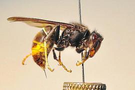 Die asiatische Hornisse vertilgt gern Honigbienen.