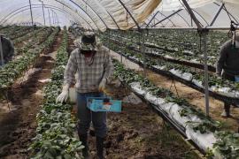 Beispielloser Run auf Erntehelfer-Jobs auf Mallorca