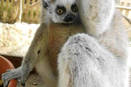 Die Lemuren im Natura Parc Santa Eugènia haben während der Ausgangssperre Junge bekommen.