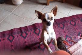 Polizei in Llucmajor ermittelt wegen geklautem Chihuahua