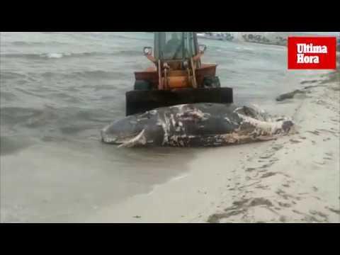 Bulldozer muss auf Mallorca toten Wal vom Strand schaffen