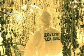 Marihuana-Plantage in Mallorcas Inselmitte bei Sineu entdeckt