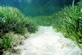 Seegraswiesen vor Mallorca in ordentlichem Zustand