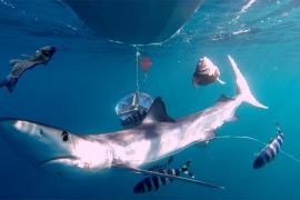 Jeder zweite Mittelmeer-Hai durch Angelhaken verletzt